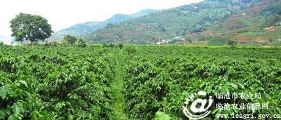 云县咖啡种植面积达85650亩