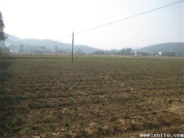 岑溪市黄金构骨在糯垌镇平坡村示范种植