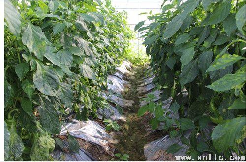 勐海县勐遮镇现代澳门永利唯一官网发展蔬菜建设初见成效