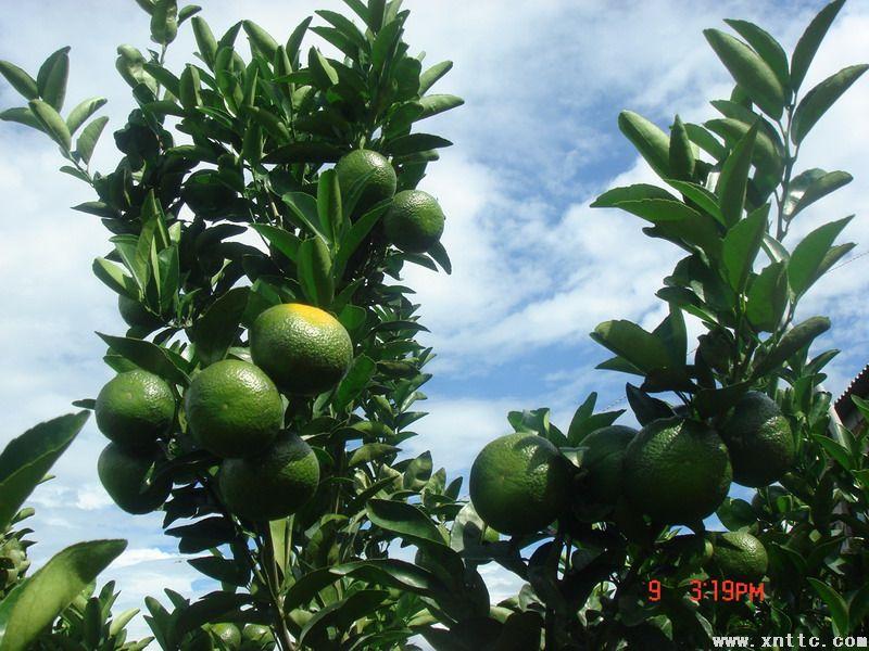 新平县柑橘早熟品种开始上市