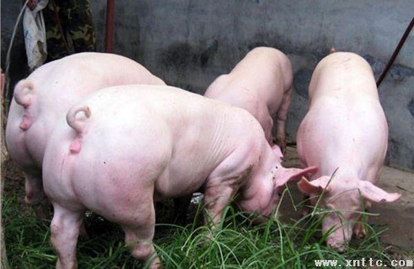 大约克猪有着哪些优势和管理要点?