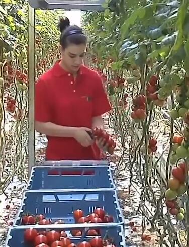 辣椒和西红柿的温室大棚种植技术